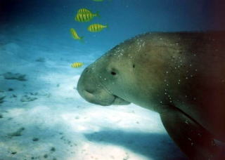 Zeekoe of dugong